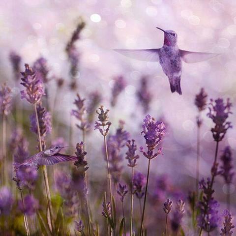 bird-lavender