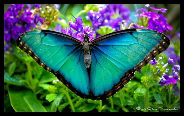 butterfly-blue-flower